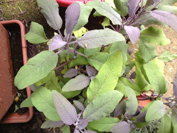 Salvia purpurea
