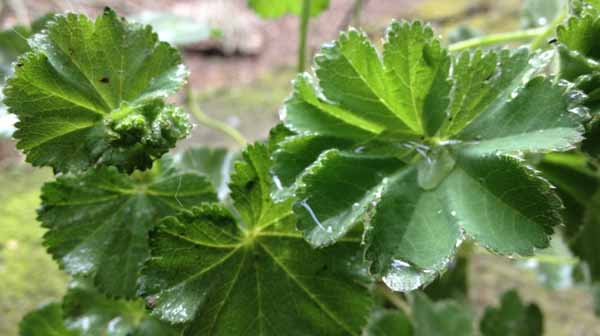 Alchemilla, rugiada sulle foglie
