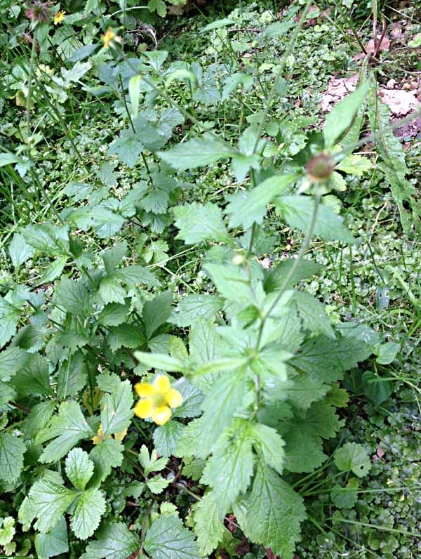 Geum Urbanum, Rosaceae