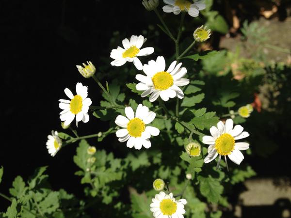 Tanacetum parthenium, fiori
