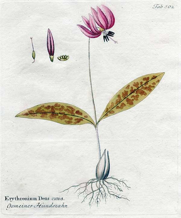 erythronium acquarello